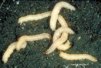 corn-rootworm-larvae.jpg