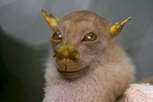 free wallpaper yoda. MegaBats: This little guy is the newly discovered Yoda Bat.