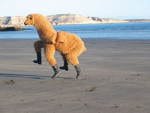 Kicking it, holiday llama style.