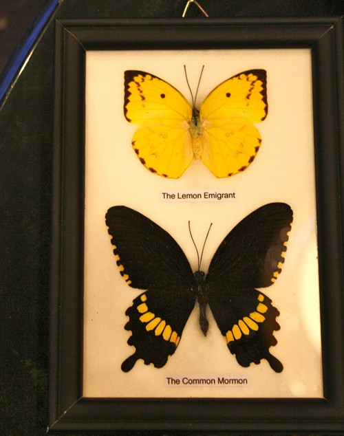 Framed Butterflys from Eden