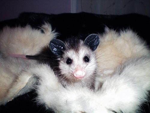 possum1-1.jpeg