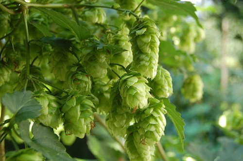 This is what hops look like, in case you were wondering.